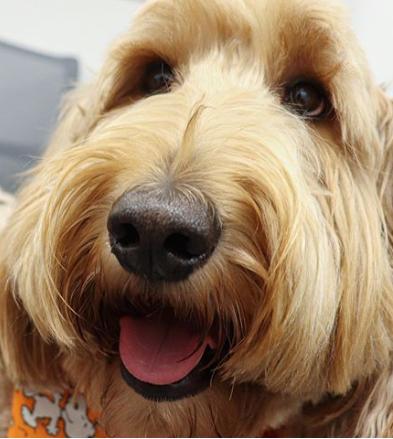 Close-up image of an adult goldendoodle dog.