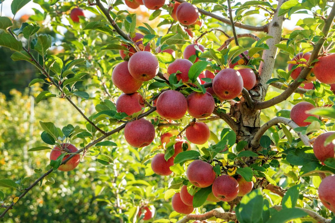 Apples on an apple tree in Syracuse University's backyard, Central New York.