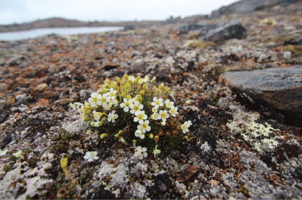 Alyssum growing on rocky terrain