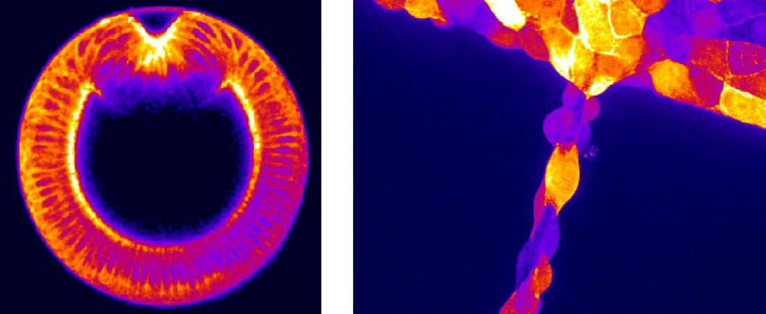 Fluorescence microscopy images of groups of cells in developing embryos show specific patterns of cytoskeletal filaments throughout the tissue.