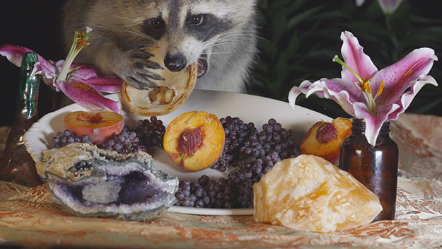Raccoon eating a pastry